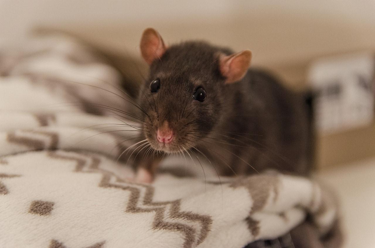 Zvídavý a mazlivý kamarád - to je potkan!