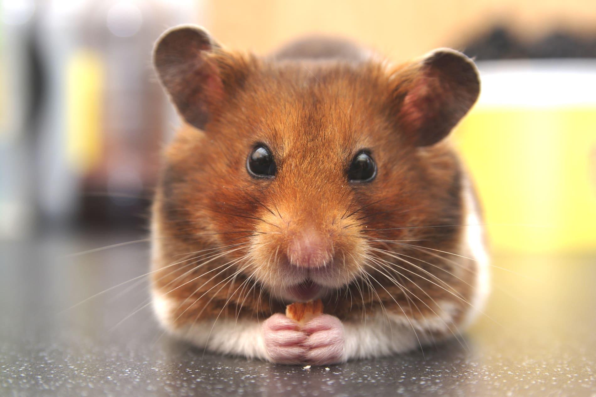 hamster-5490235_1