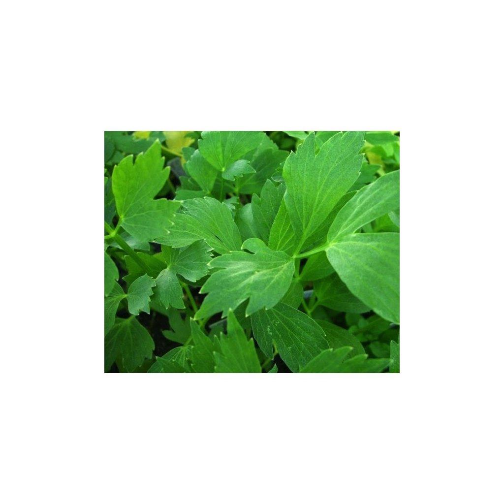 Libeček lékařský - Levisticum officinale - semena libečku 0,5 g, 170 ks