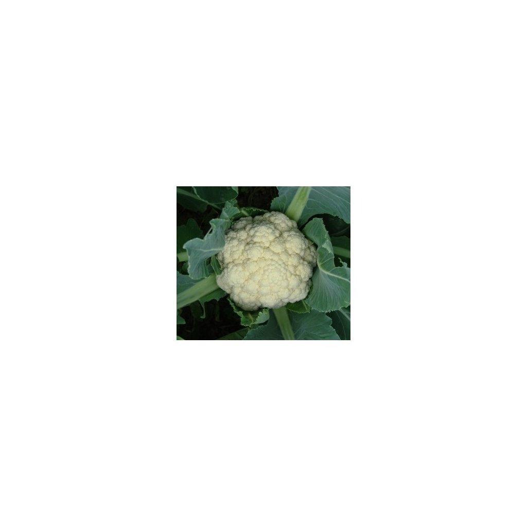 Květák pozdní Delta - semena květáku 0,4 g, 110 ks