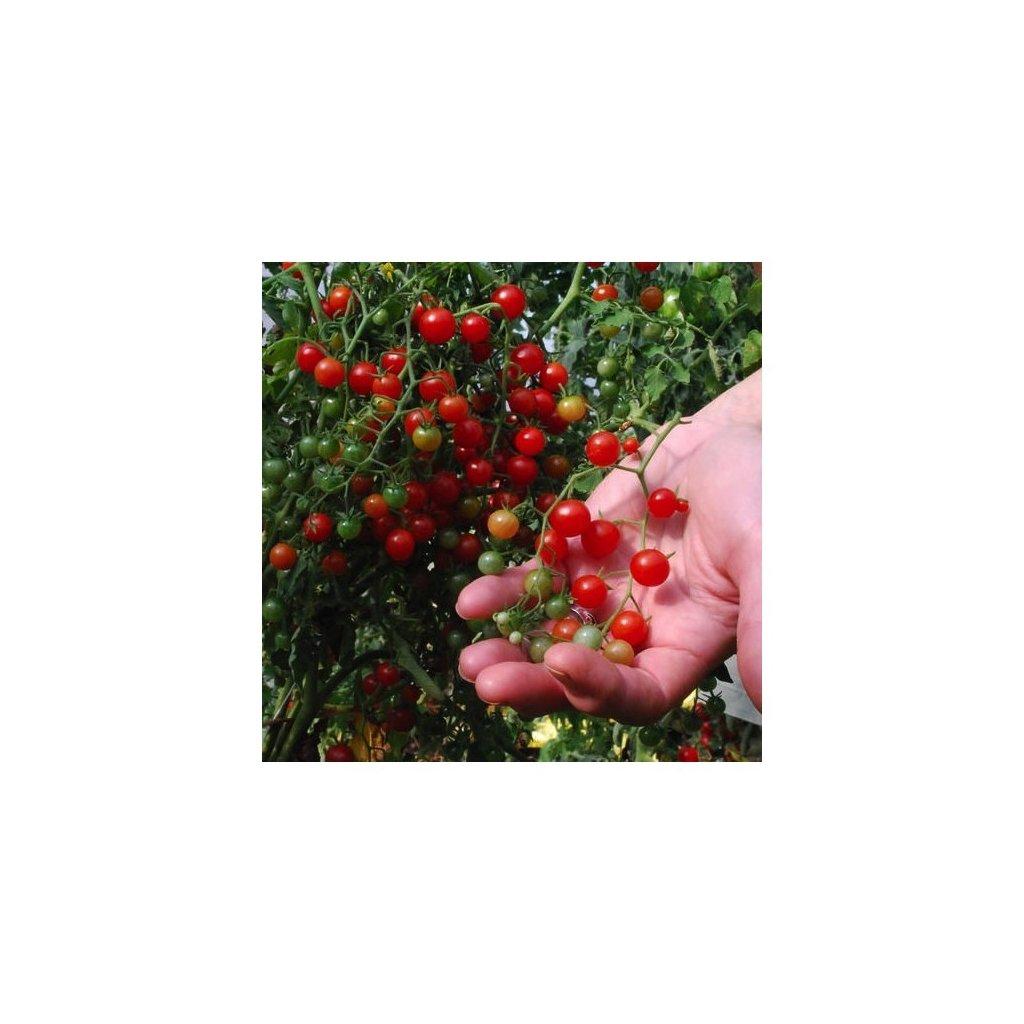 Divoké rajče rybízové hráškové červené (Solanum pimpinellifolium) - semena divokých rajčat 10 ks