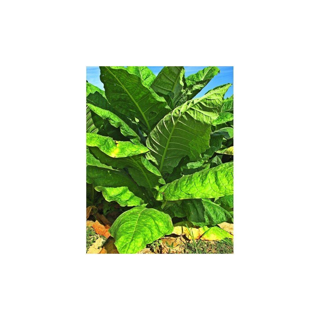 Tabák virginský Burley (Nicotiana tabacum) - semena tabáku - cca 500 ks