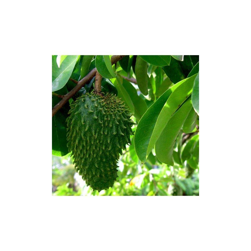 Anona ostnitá - Graviola (Annona muricata) semena gravioly - 5 ks