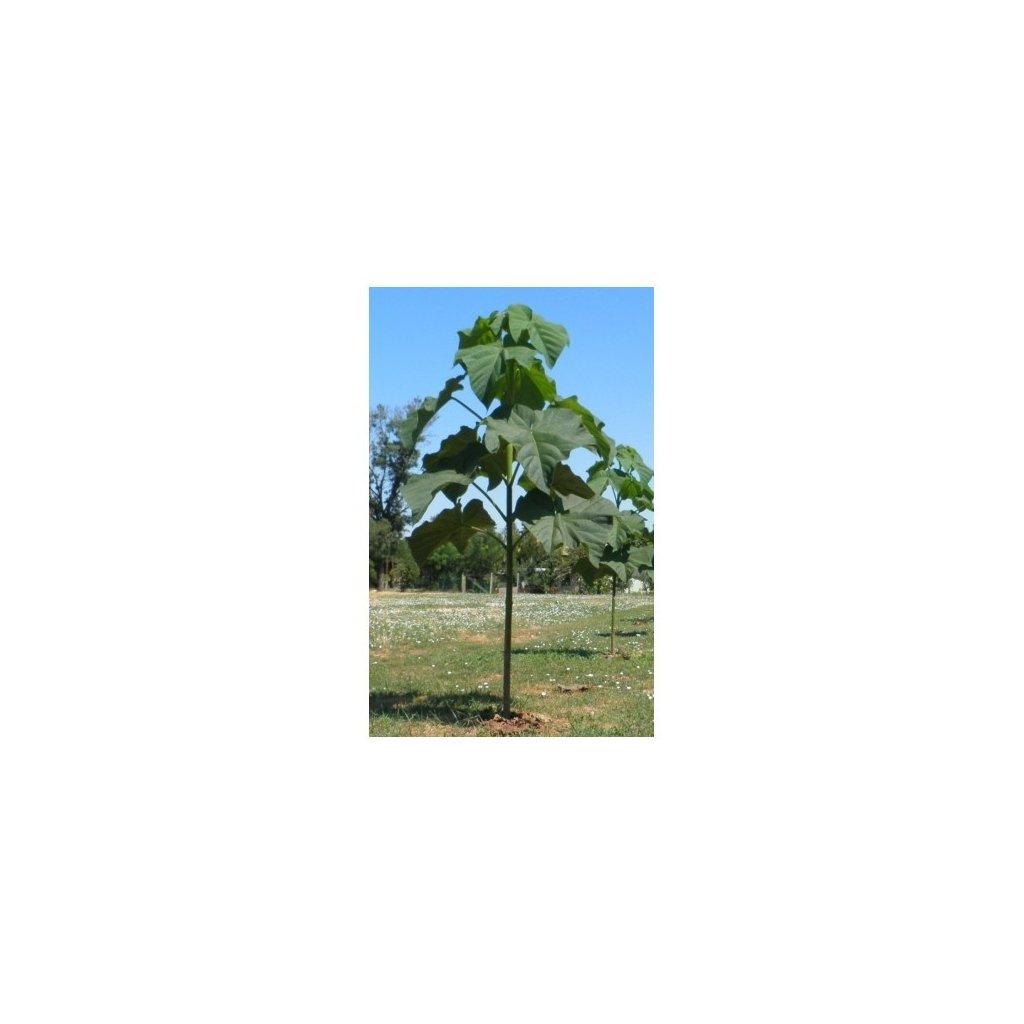 Paulownie Shan Tong (Paulownia Shantong) - semena paulovnie - 100 ks