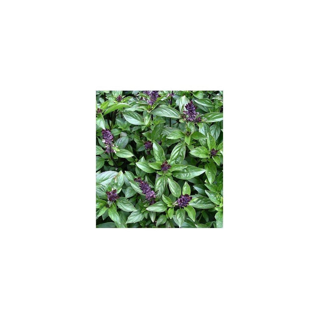 Bazalka skořicová - semena bazalky 0,5 g, 400 ks