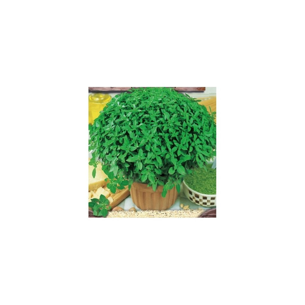 Bazalka trpasličí drobnolistá - semena bazalky 0,5 g, 450 ks