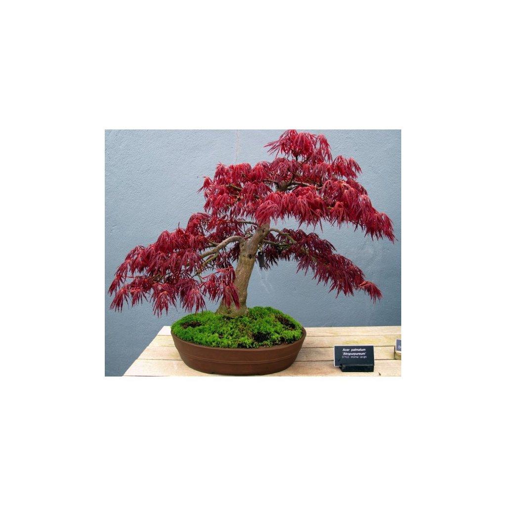 Javor dlanitolistý červený zpeřený (Acer palmatum atropurpureum dissectum) semena javoru - 3 ks