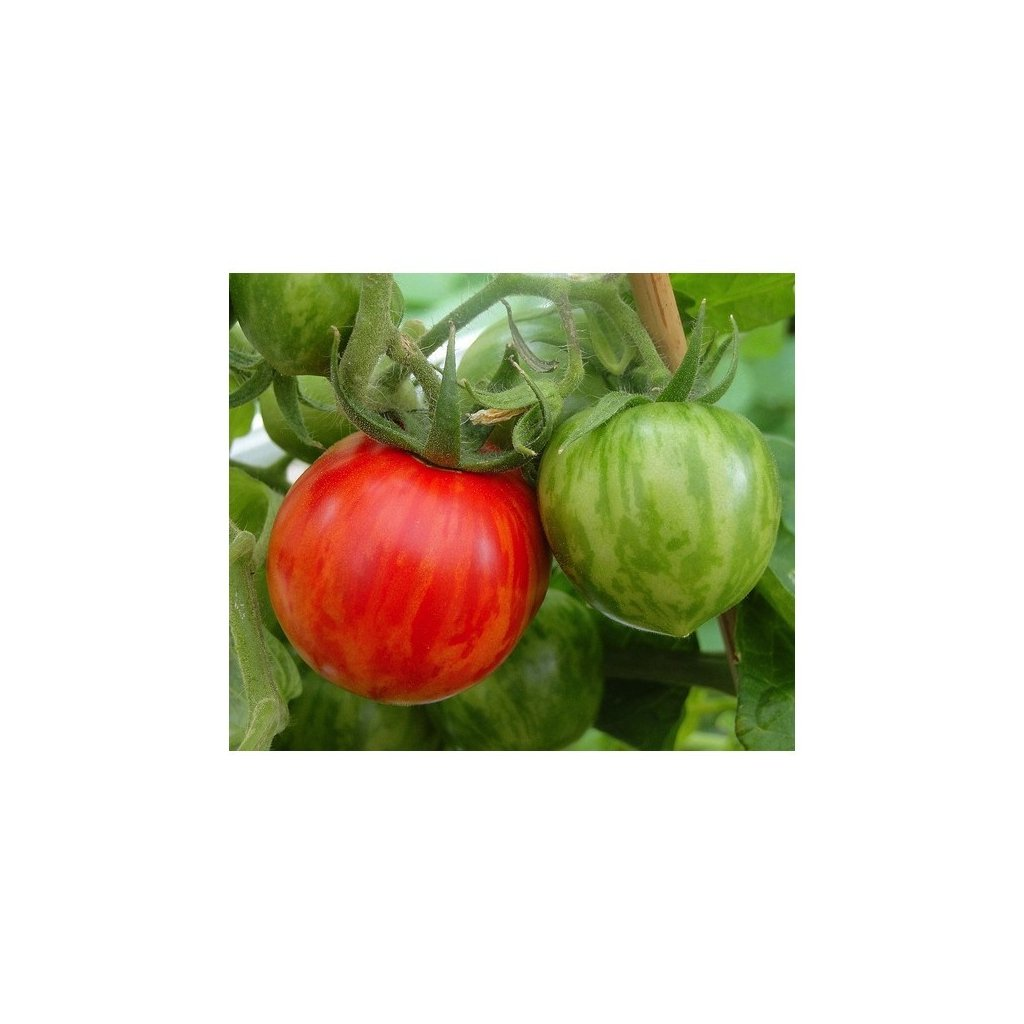 Rajče tyčkové červené Red Zebra - semena rajčat 10 ks