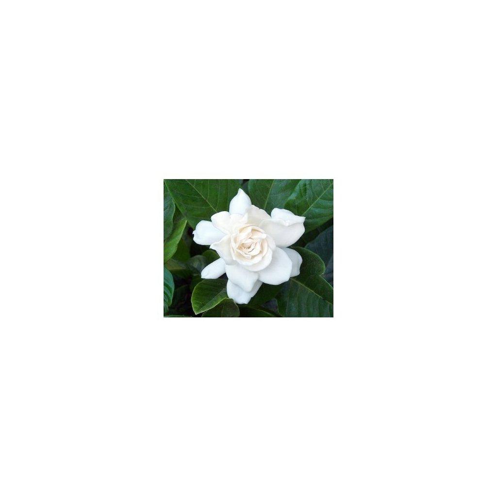 Gardénia (gardenia jasminoides) semena gardénie - 10 ks