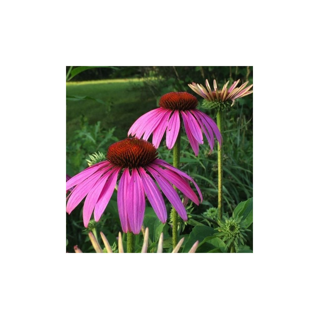 Třapatka nachová - Echinacea purpurea - semena echinacey 0,2 g, 50 ks