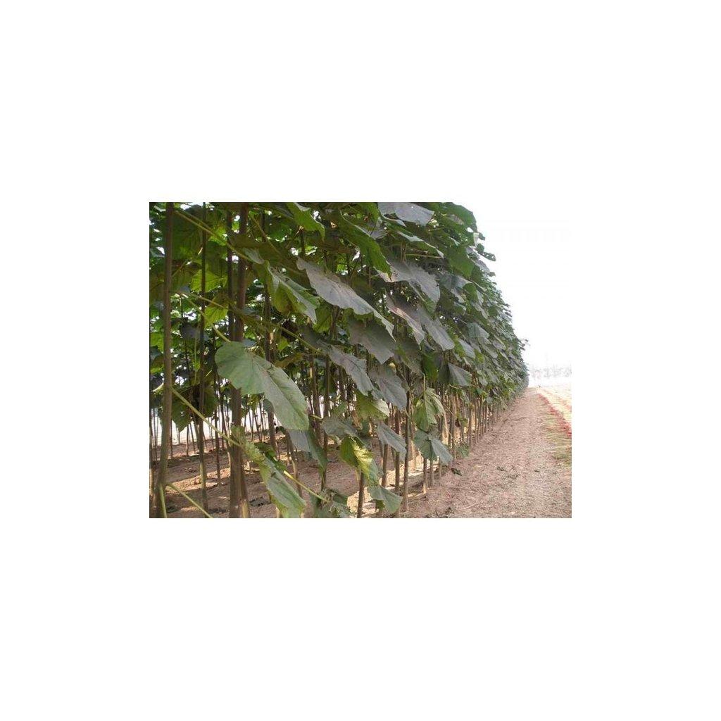 Paulownie Pao Tong Z07 (Paulownia Paotong) - semena paulovnie - 100+ ks