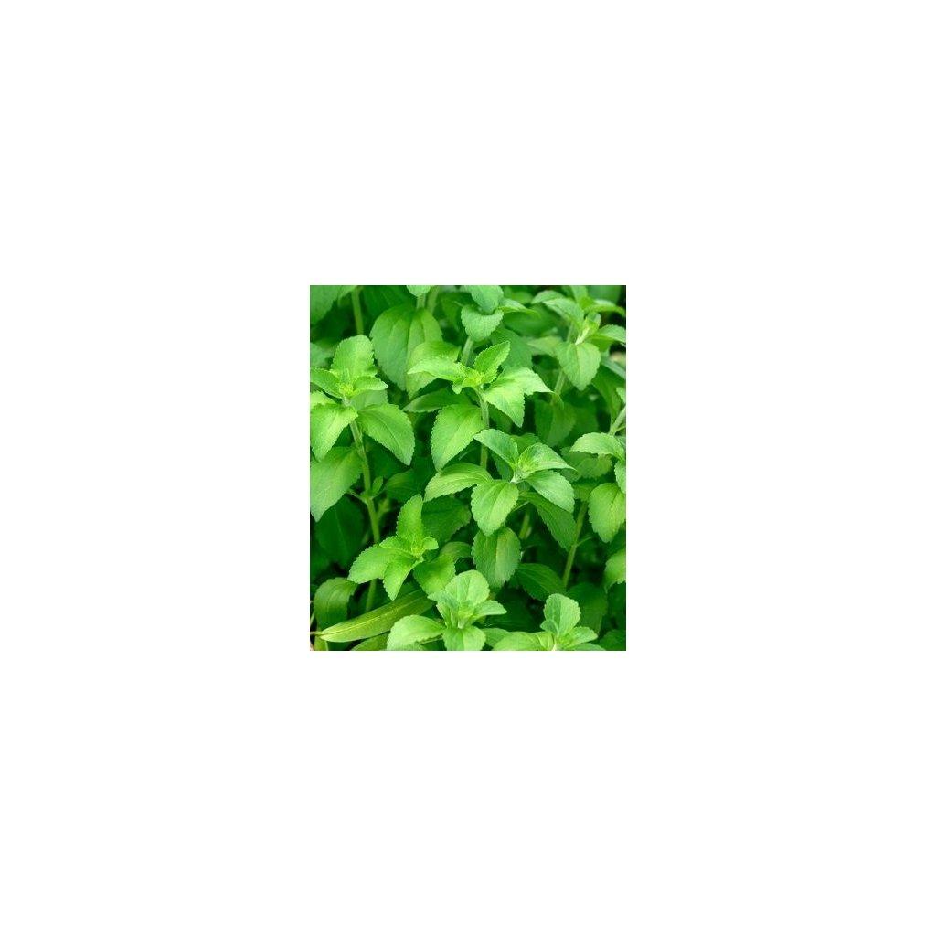 Stévie sladká (Stevia rebaudiana Bertoni) semena stévie - 50 ks