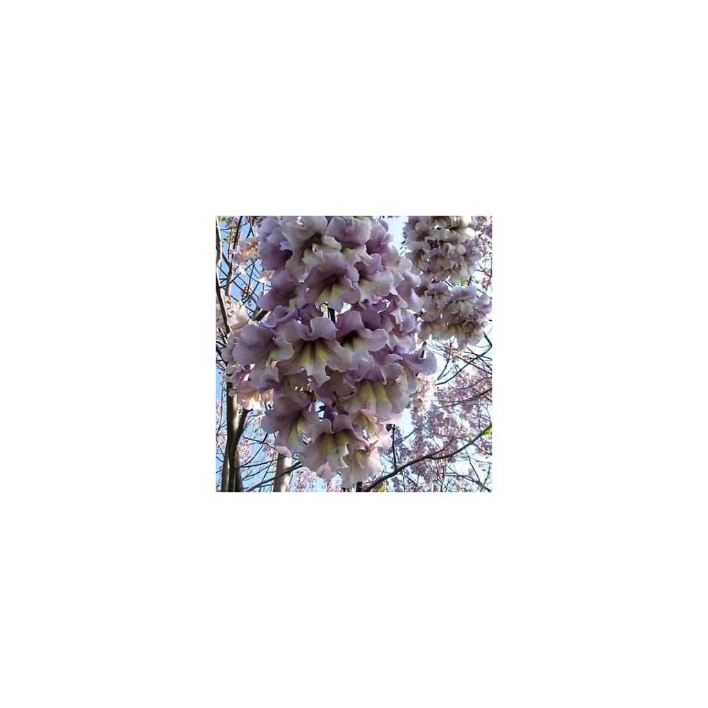 Paulownie protáhlá (Paulownia elongata) - semena paulovnie - 100 ks