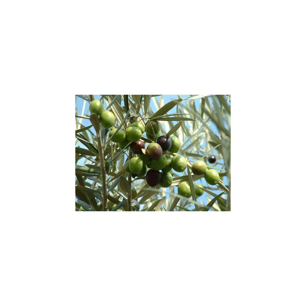 Olivovník evropský (Olea europaea) semena olivovníku - 5 ks
