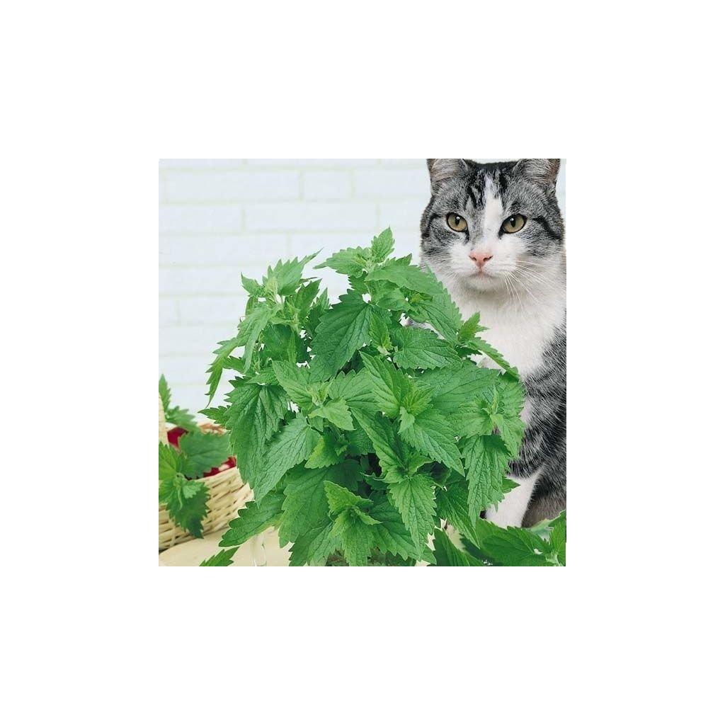 Šanta kočičí (Nepeta cataria) semena šanty - 0,1g, 150 ks