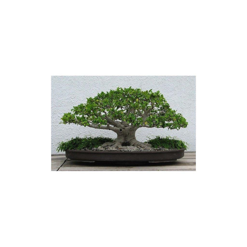 Fíkovník banyán (Ficus benghalensis) fikus semena fíkovníku - 10 ks