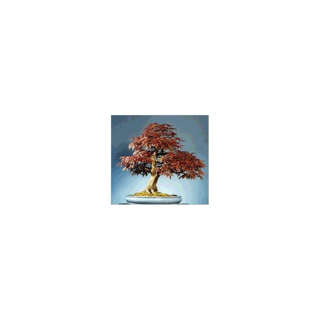 Javor červený (Acer rubrum) semena javoru - 5 ks