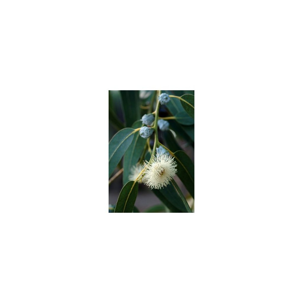 Eukalyptus citroníkový (Eucalyptus citriodora) semena eukalyptu - 5 ks