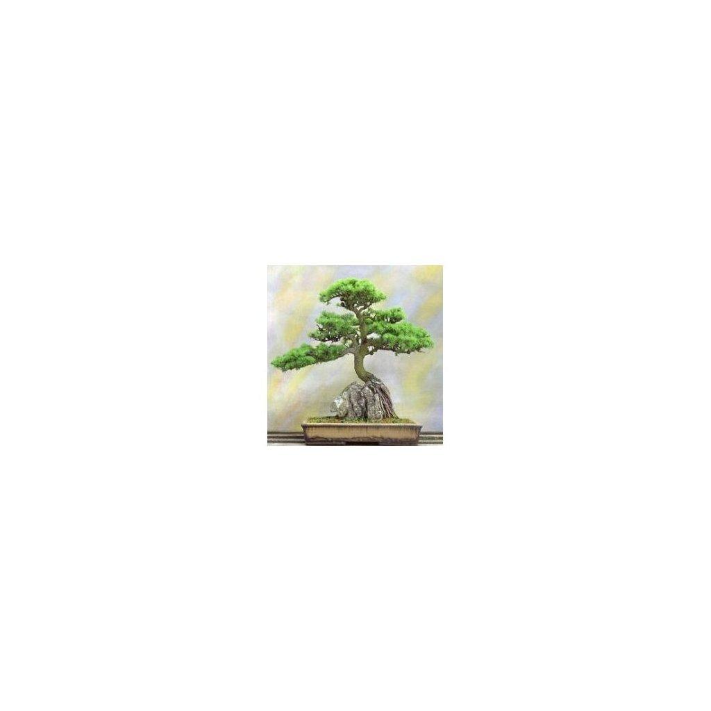 Jalovec virginský (Juniperus virginiana) semena jalovce - 5 ks