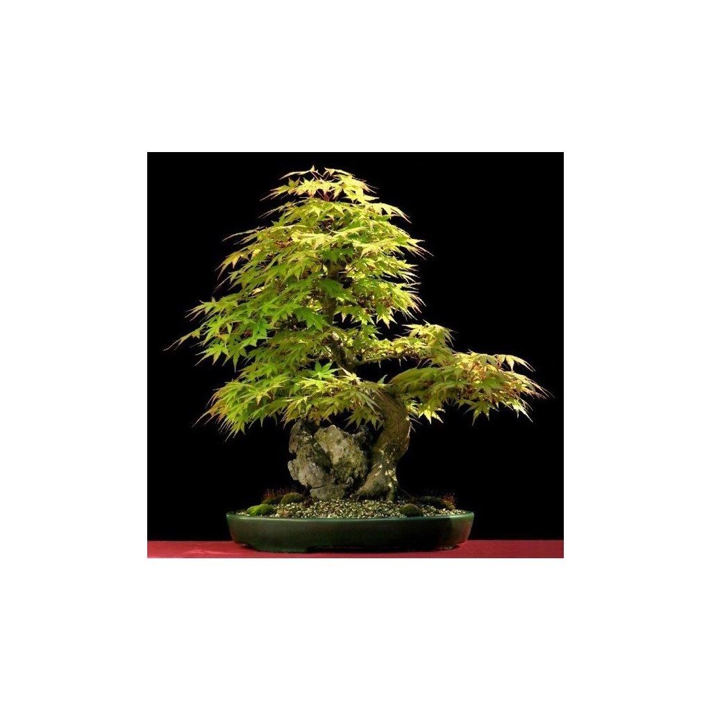 Javor dlanitolistý (Acer palmatum) semena javoru - 5 ks