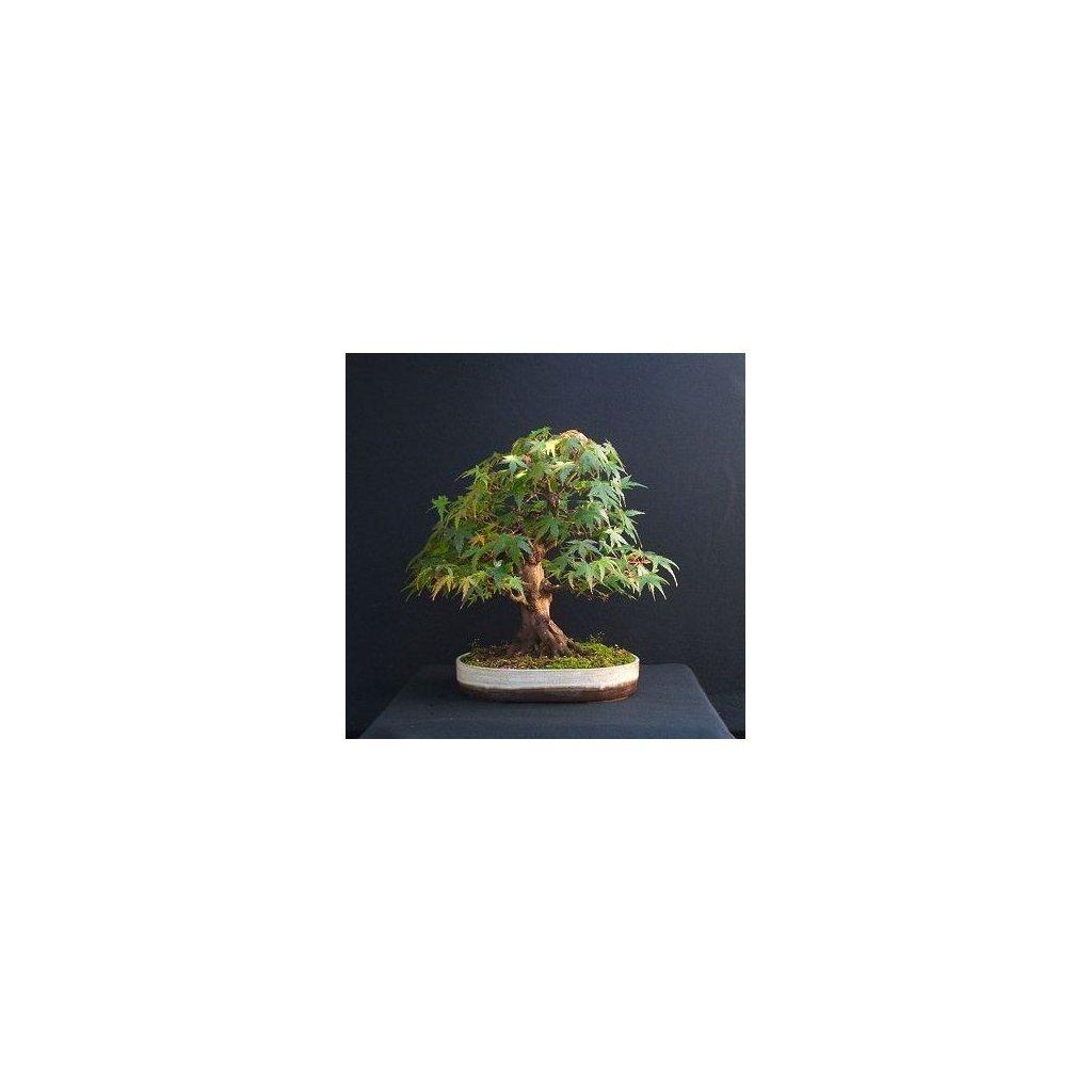 Javor pseudosieboldův korejský (Acer pseudosieboldianum) semena javoru - 3 ks