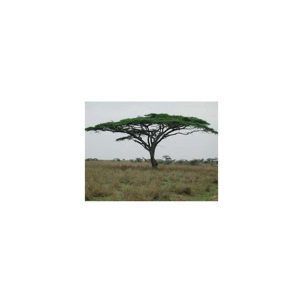 Akácie zkroucená (Acacia tortilis) semena - 3 ks