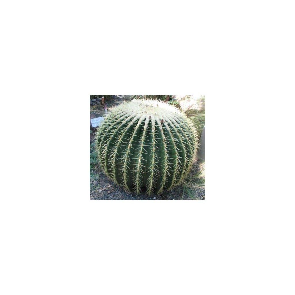 Echinokaktus grusonův (Echinocactus grusonii) semena kaktusu - 20 ks