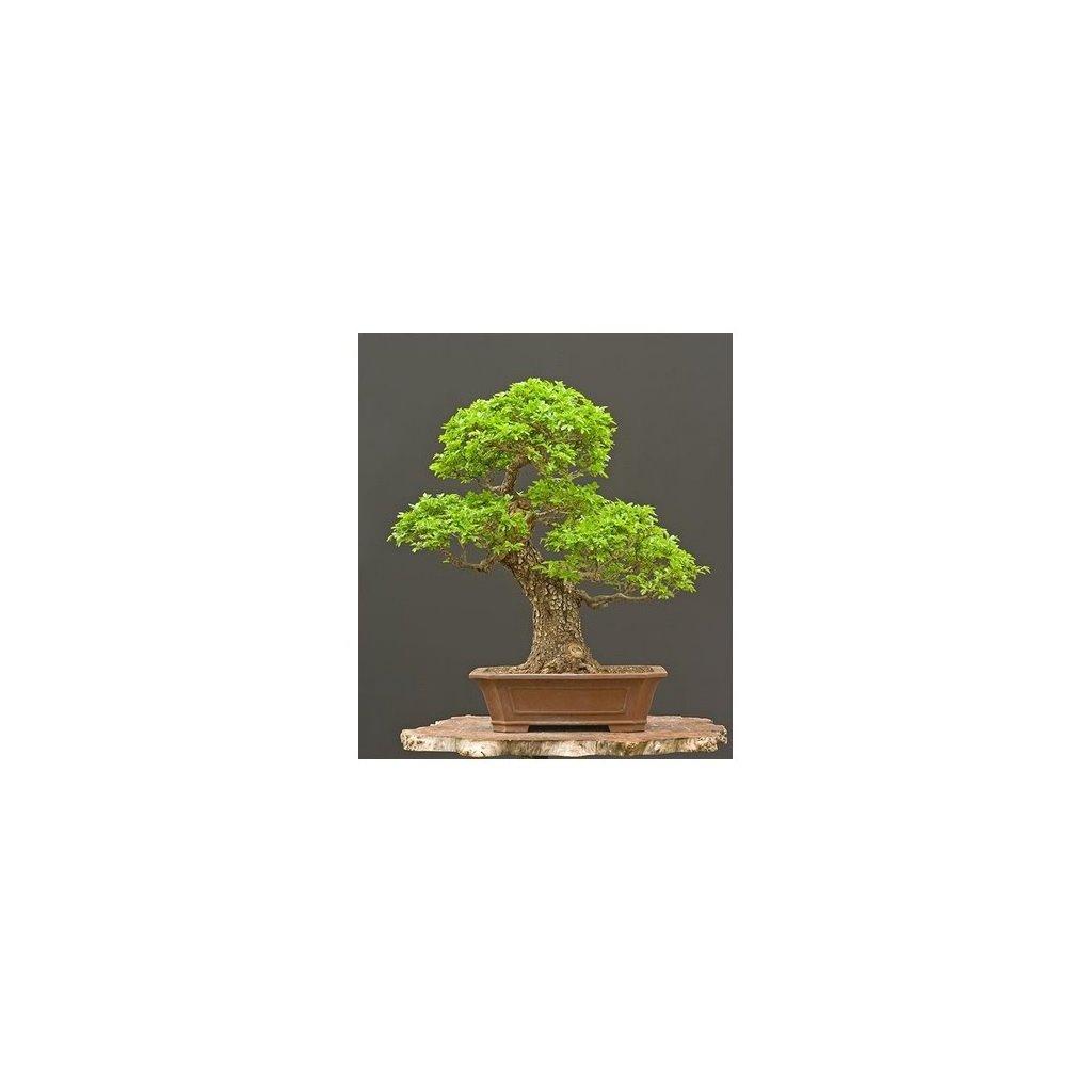 Jilm čínský (Ulmus parvifolia) semena bonsai - 10 ks