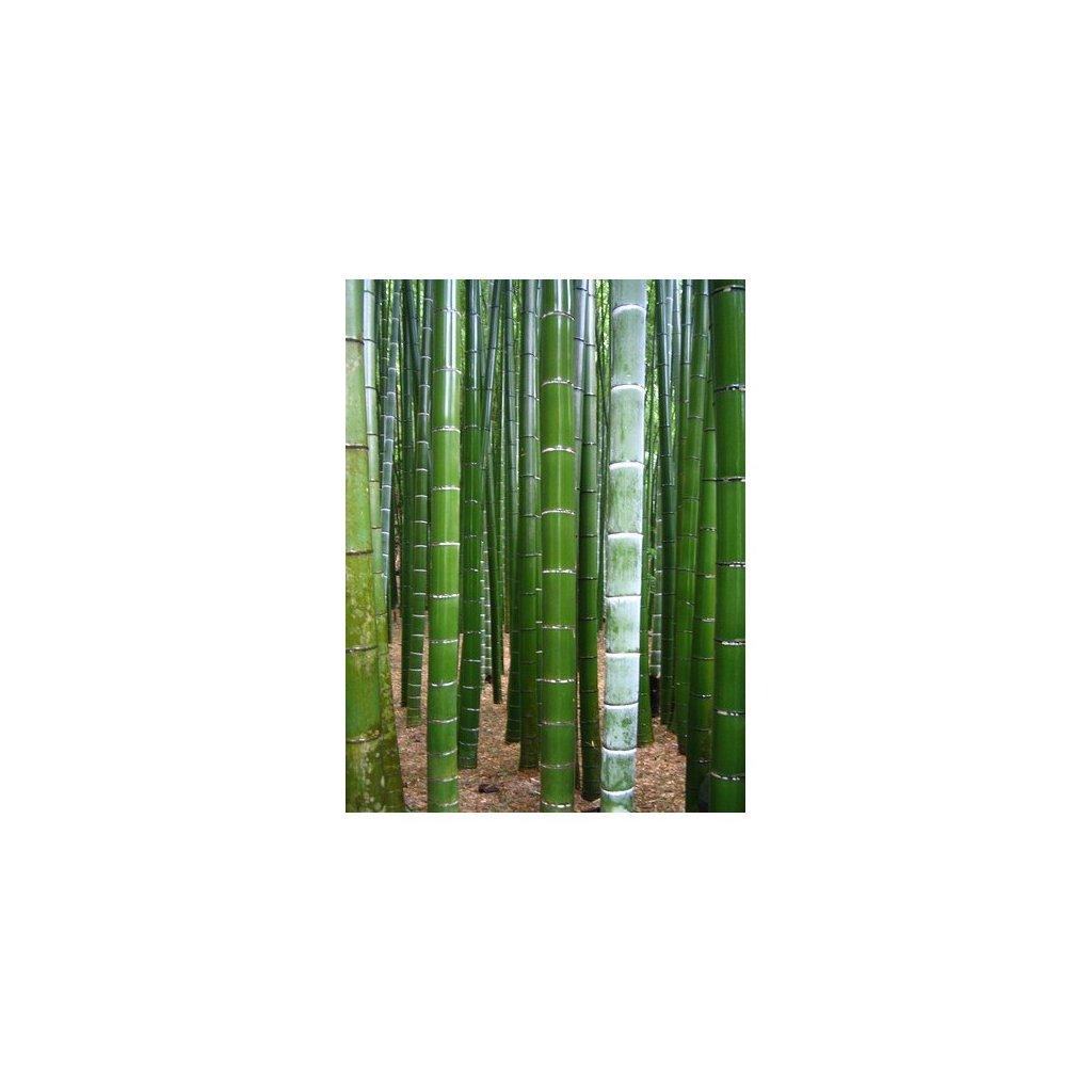 Král bambusů (Phyllostachys pubescens) semena bambusu - 5 ks