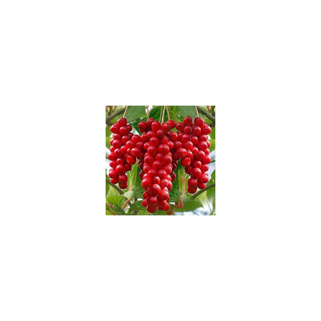 Klanopraška čínská - Schizandra (Schisandra Chinensis) semena schizandry - 7 ks