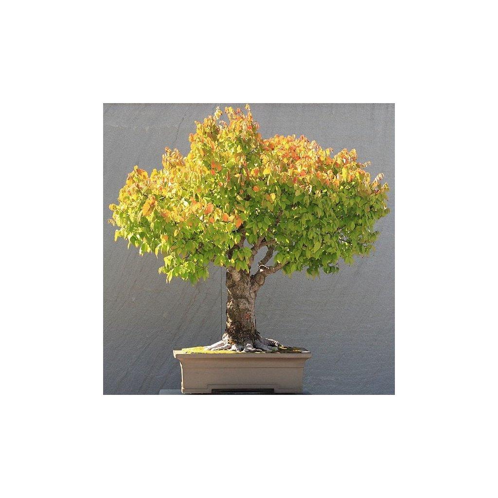 Zelkova ostrolistá (Zelkova serrata) semena bonsai - 5 ks