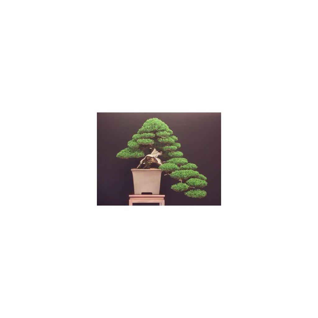 Cypřiš stálezelený (Cupressus sempervirens) semena cypřiše - 10 ks