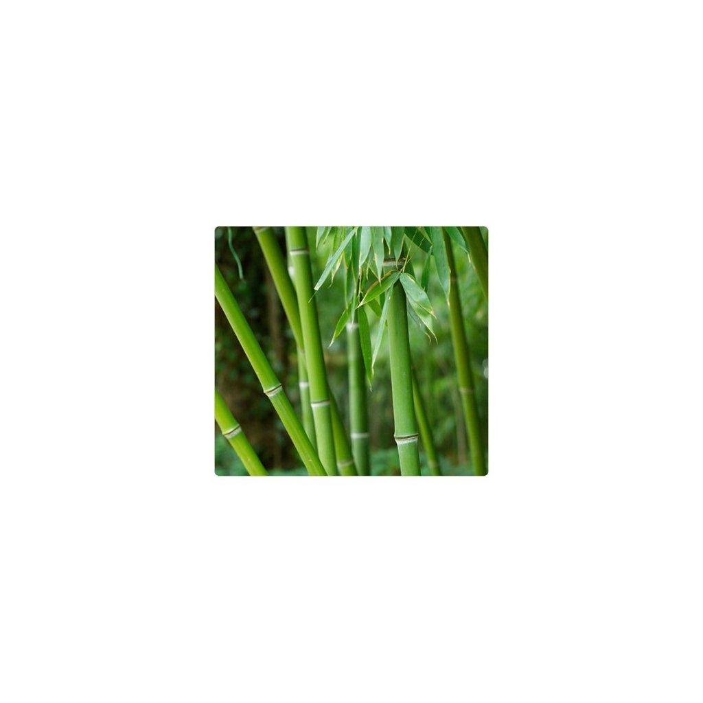 Bambus obrovský (Bambusa arundinacea) semena bambusu - 10 ks