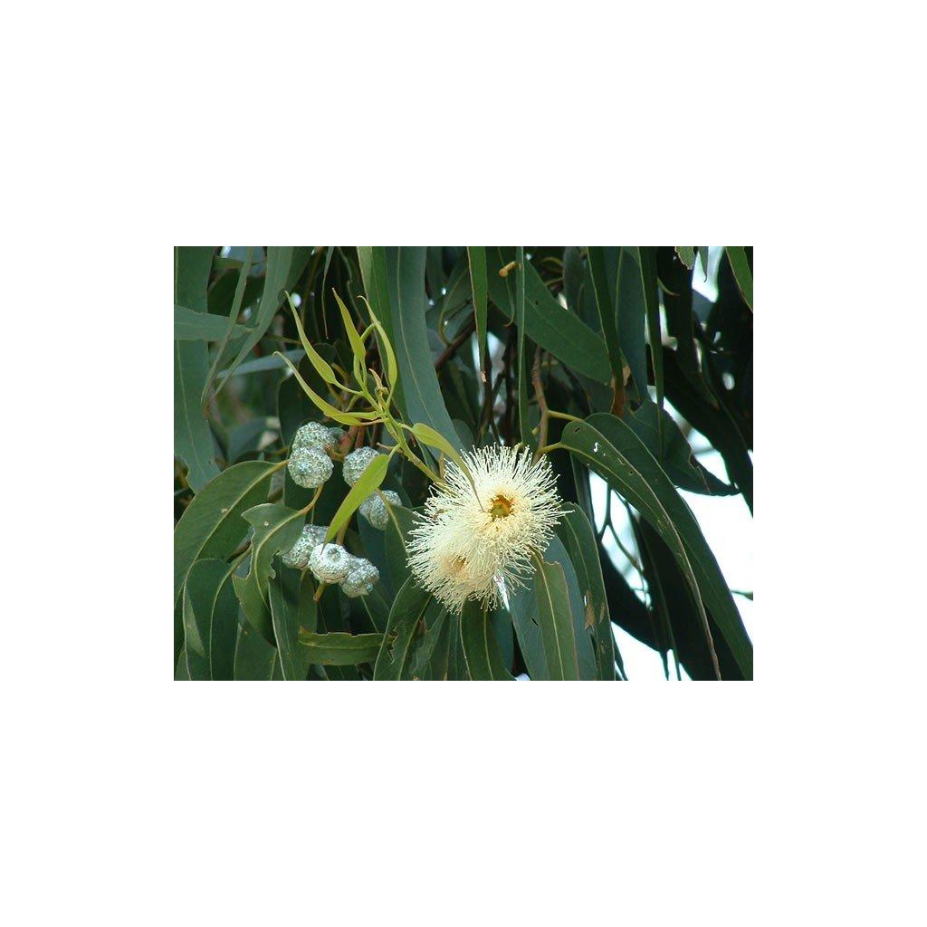 Eukalyptus kulatoplodý (Eucalyptus globulus) semena eukalyptu - 6ks