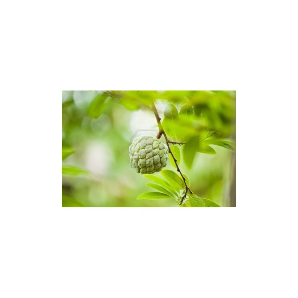 Anona šupinatá - Láhevník (Annona squamosa) semena láhevníku - 5 ks