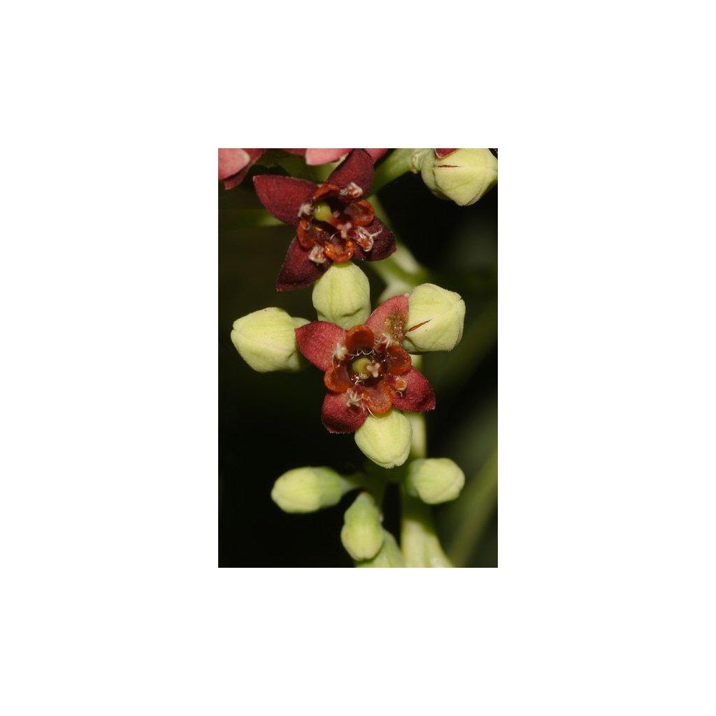Santal bílý (Santalum album) semena santalu - 5 ks