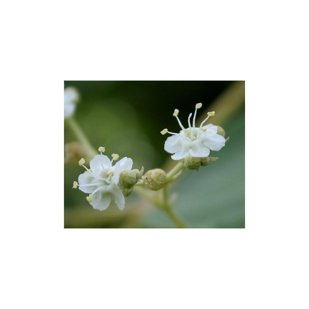 Teka obrovská (Tectona grandis) semena teaku - 3 ks