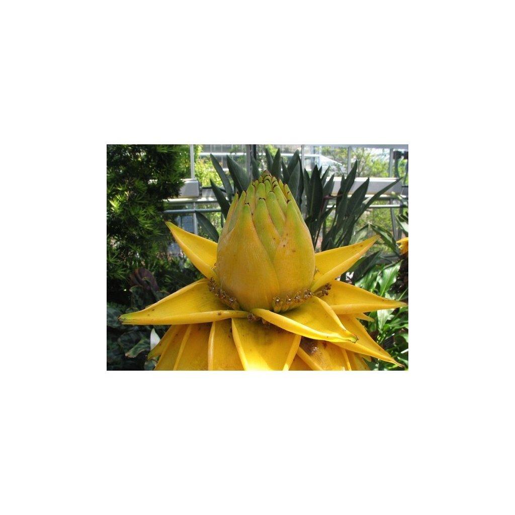 Banánovník lotosový (Musella lasiocarpa) semena banánovníku - 3 ks