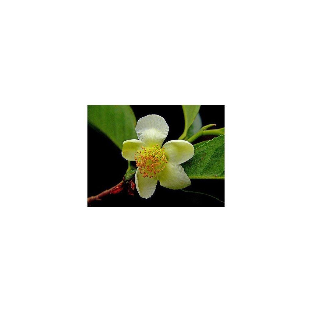 Čajovník čínský - assamský - čaj (Camellia sinensis var. assamica) čerstvá semena čajovníku - 4 ks