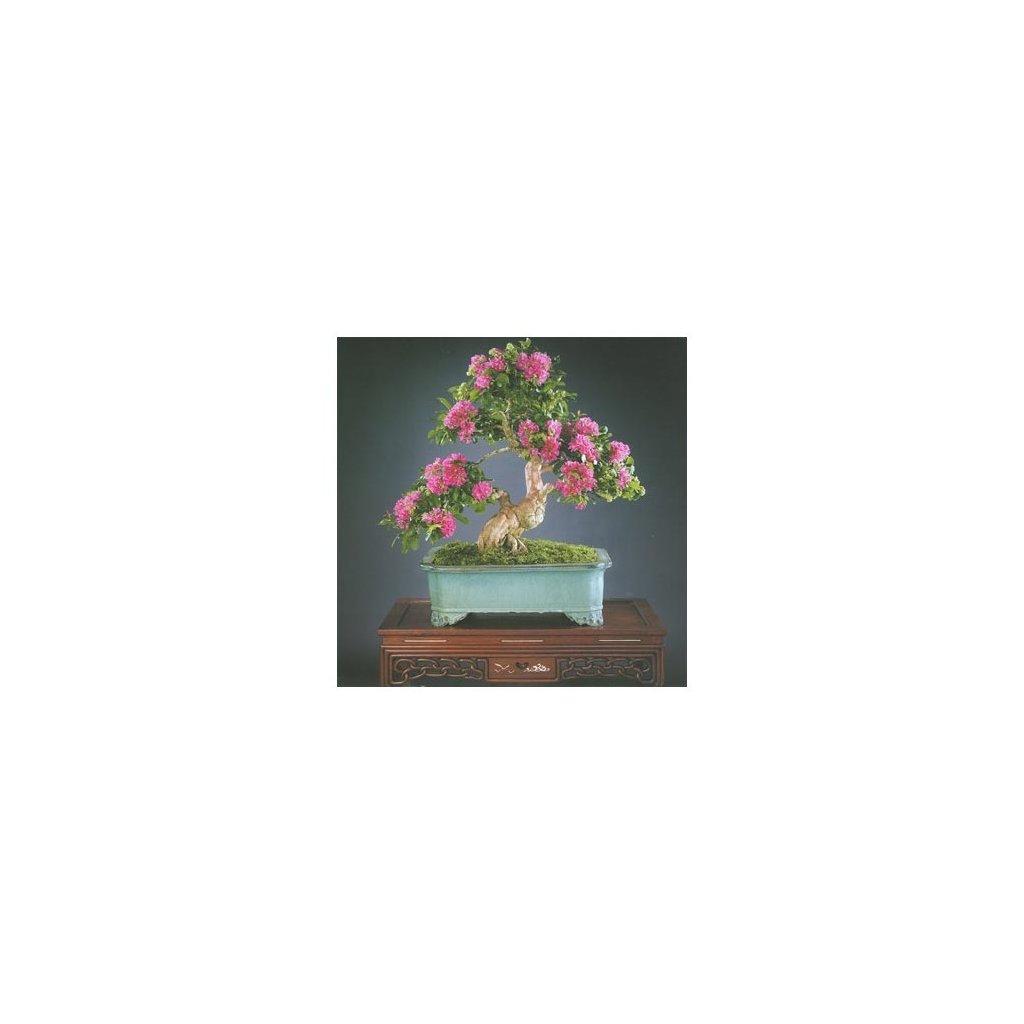 Krepová myrta (Lagerstroemia indica) - semena myrty - 20 ks