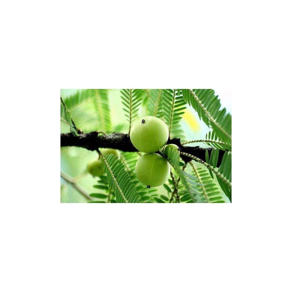 Indický angrešt (Phyllanthus emblica) - semena angreštu - 10 ks