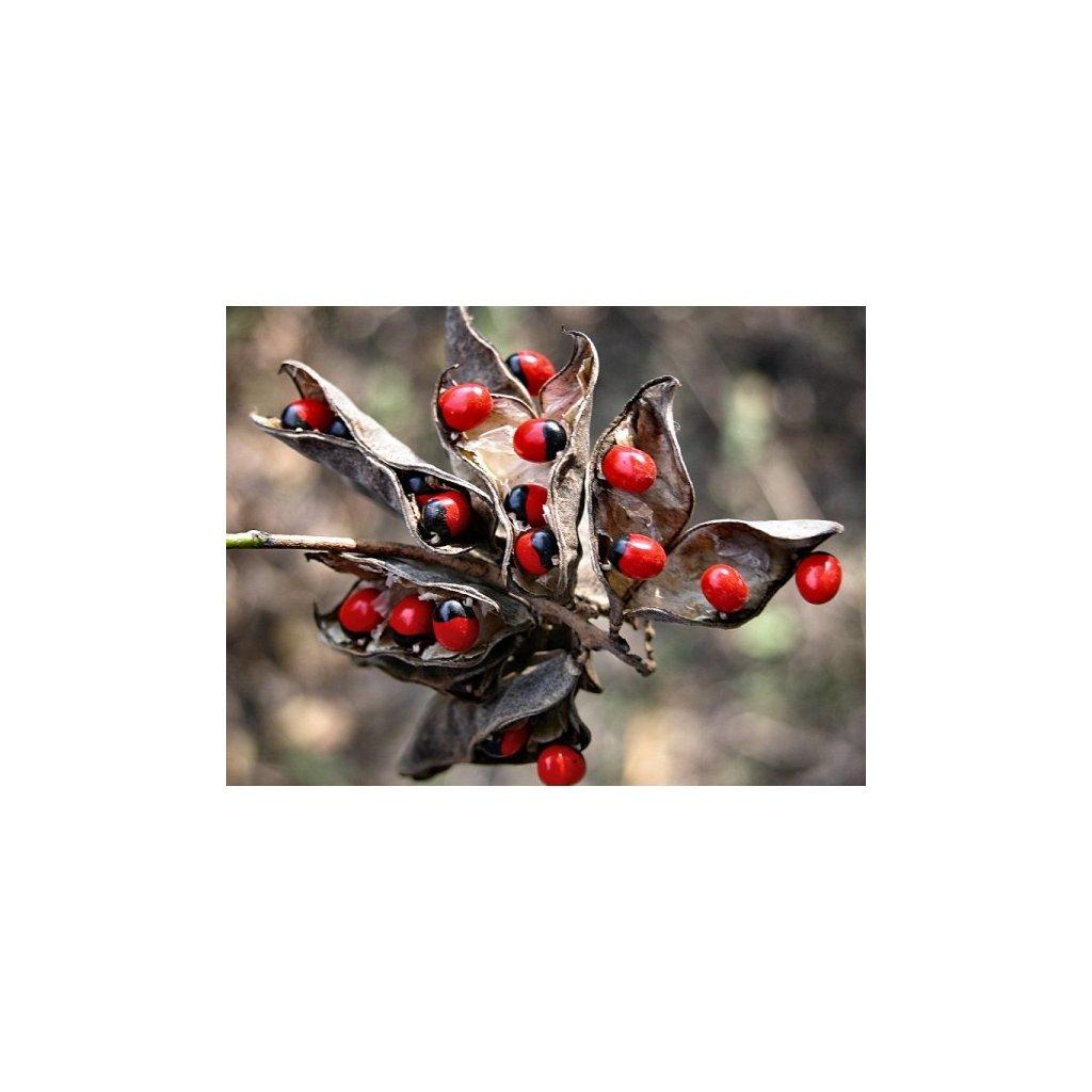 Sotorek růžencový (Abrus precatorius) semena - 10 ks