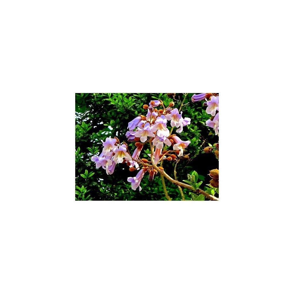 Paulownie císařská (Paulownia imperialis) - semena paulovnie - 15 ks