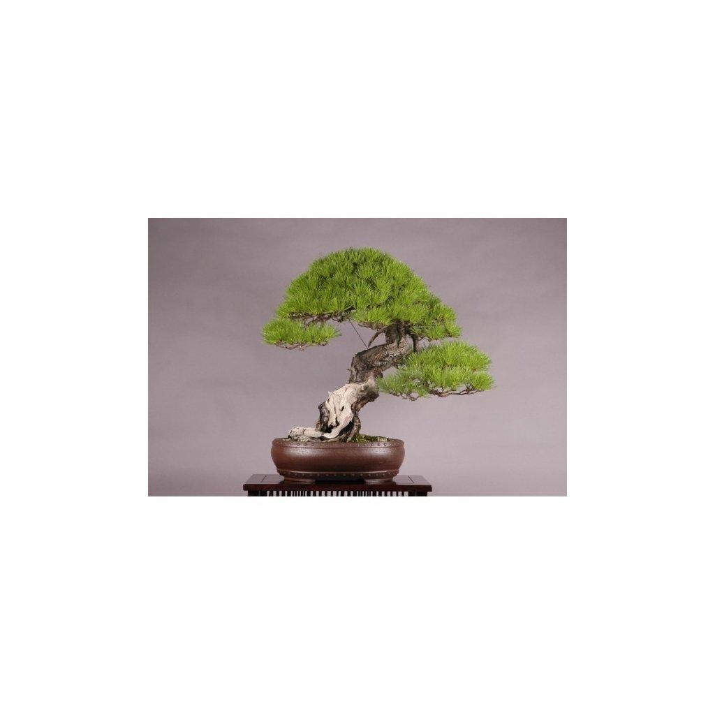 Borovice červená japonská (Pinus densiflora) - semena borovice - 5 ks