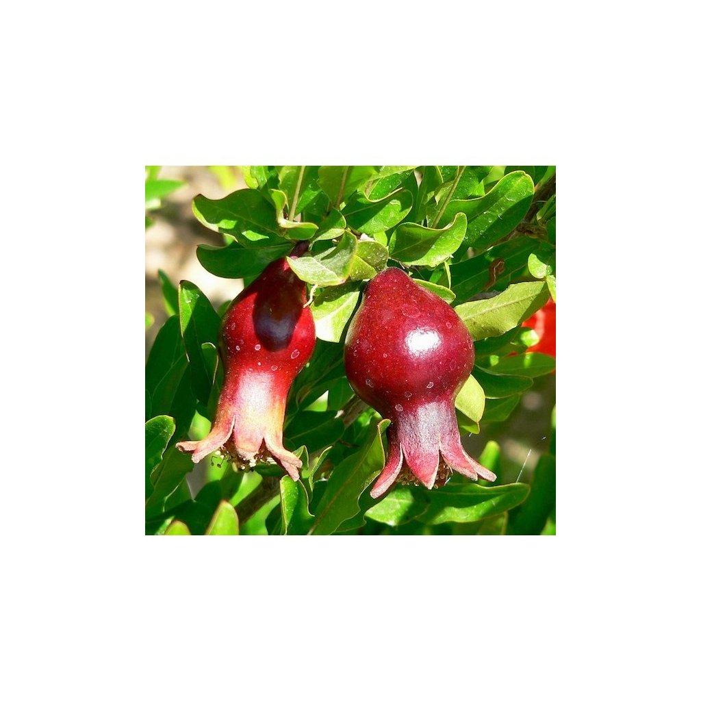 Marhaník granátový (Punica granatum) semena granátovníku - 10 ks