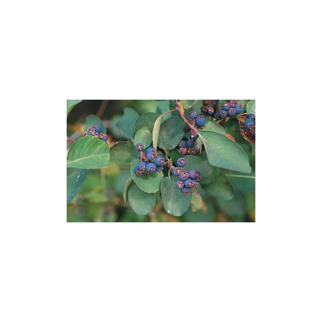 Muchovník olšolistý (Amelanchier alnifolia) semena muchovníku - 10 ks