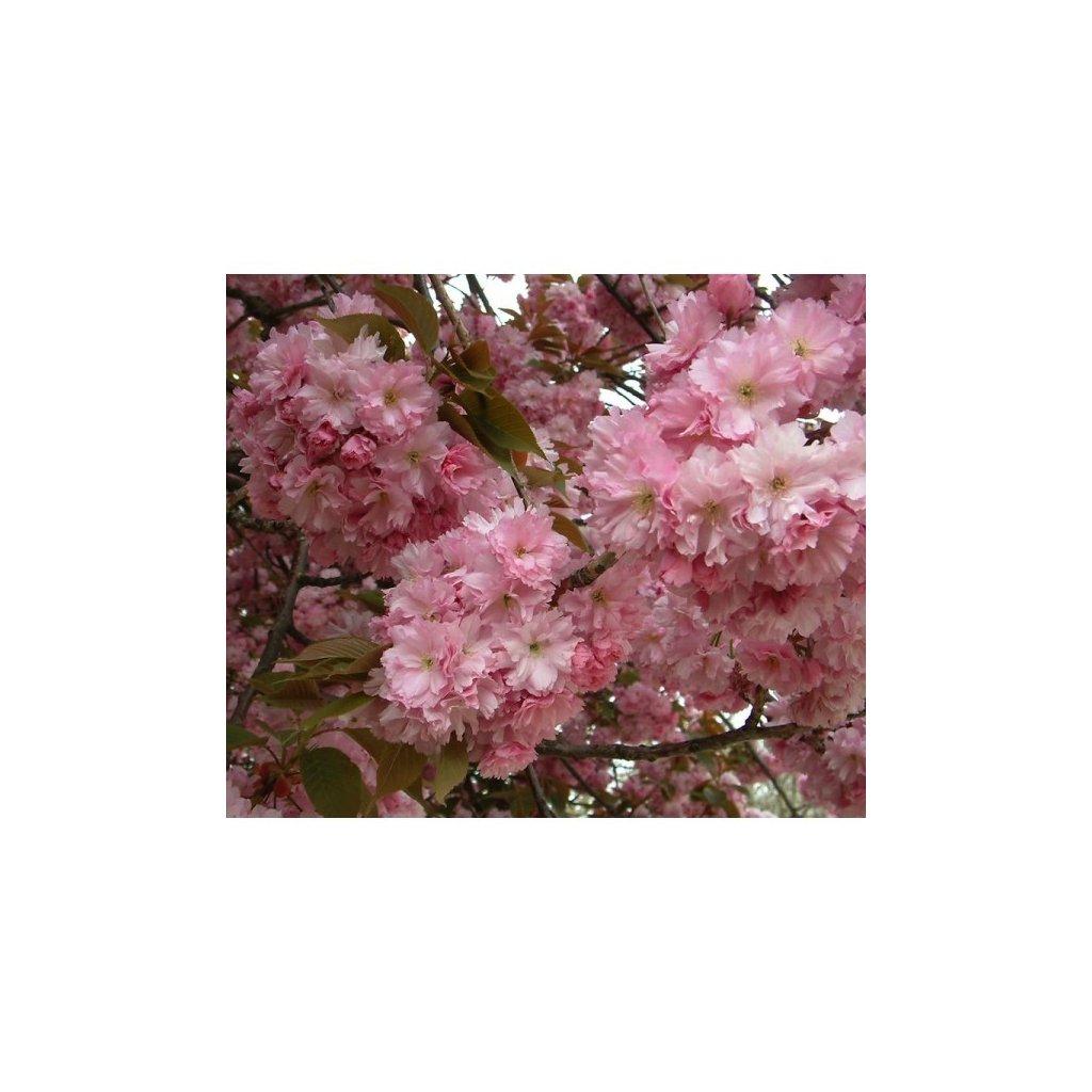 Třešeň pilovitá – sakura ozdobná (Prunus serrulata) - semena sakury - 3 ks