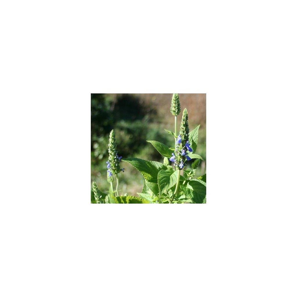 Šalvěj hispánská Chia (salvia hispanica) - semena chia - cca 70 ks