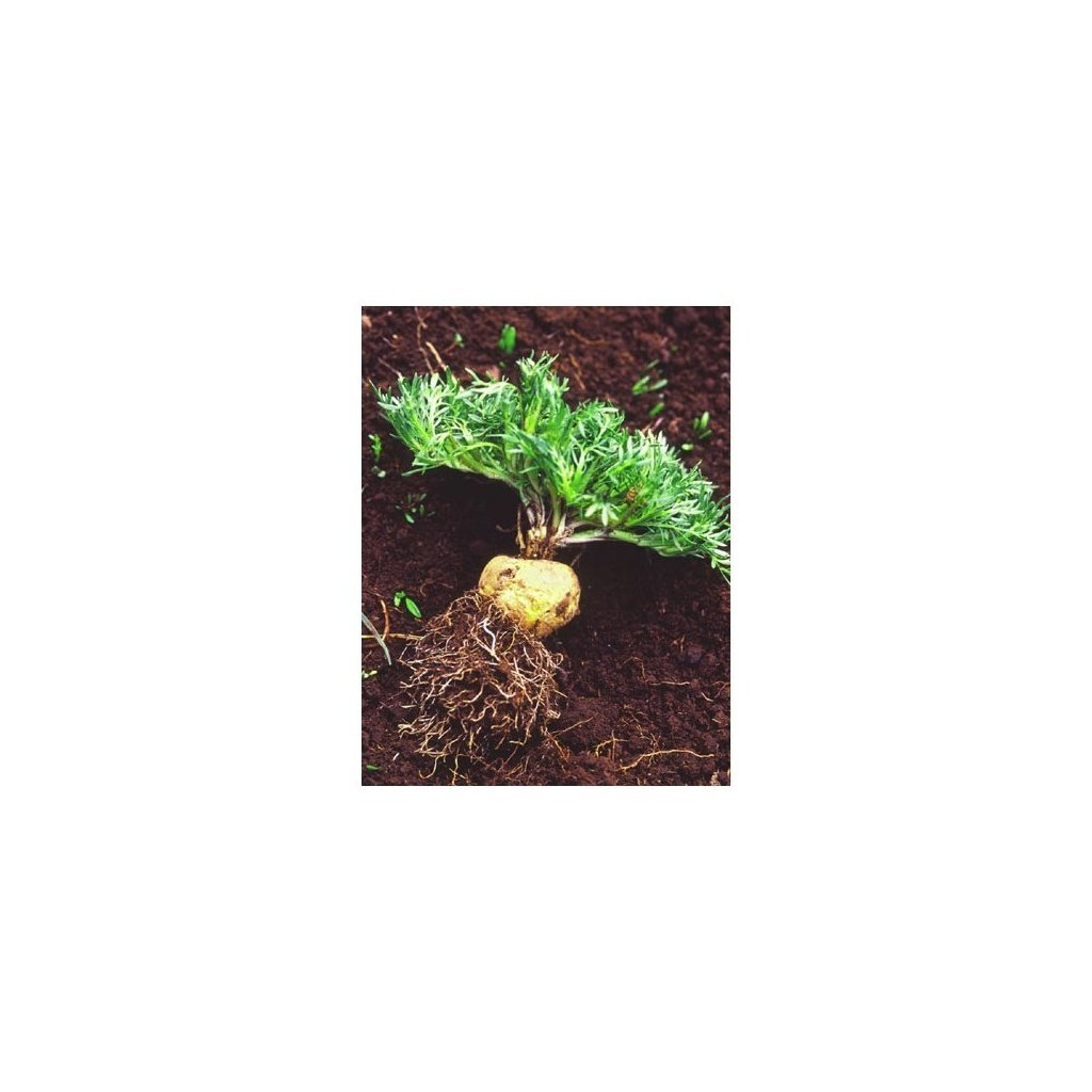 Maca horská žlutá (Lepidium meyenii) - semena macy - 20 ks
