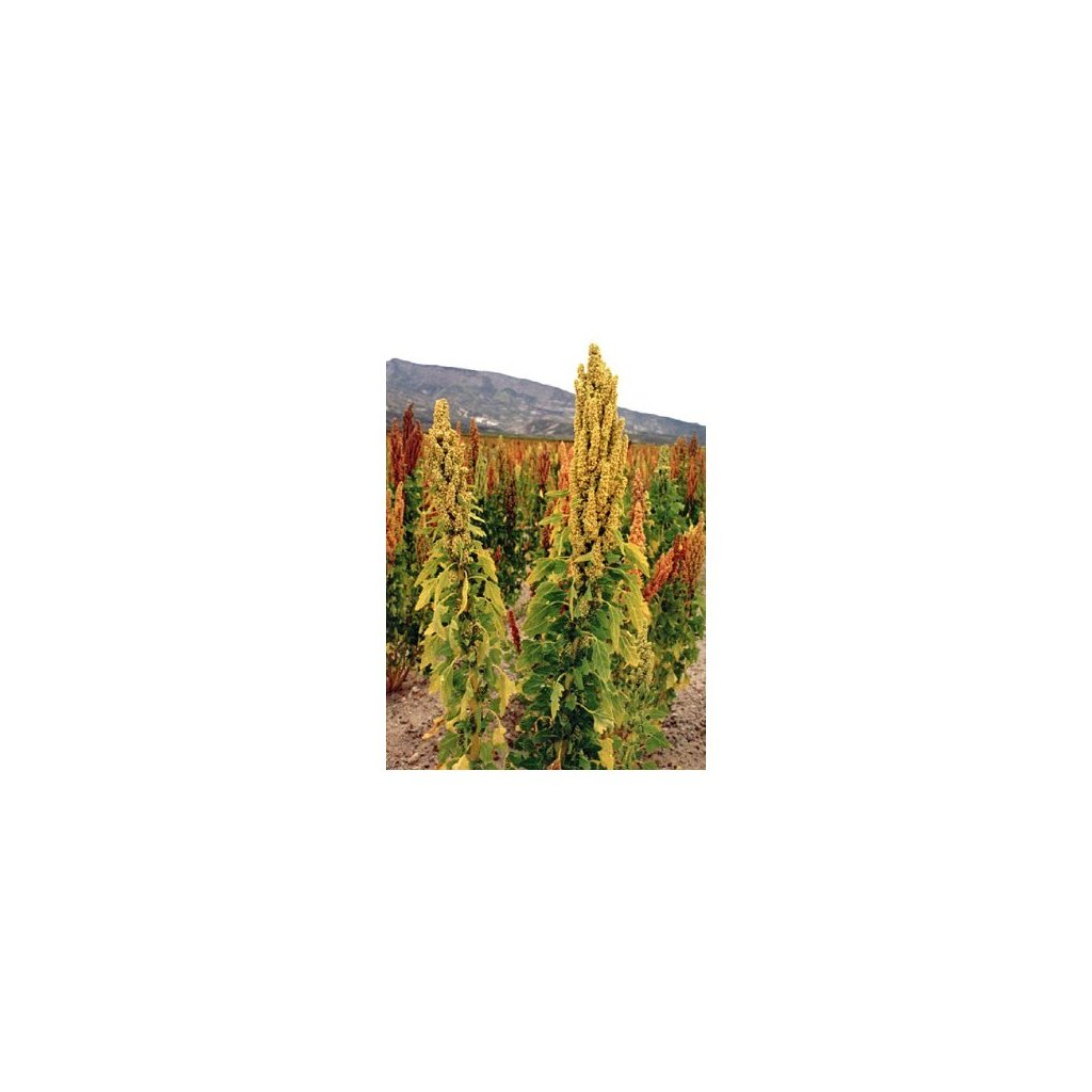 Merlík chilský - Quinoa, hnědá (Chenopodium Quinoa) semena - cca 20 ks